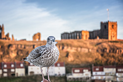 Baby seagull in Whitby