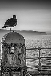 Seagull Whitby